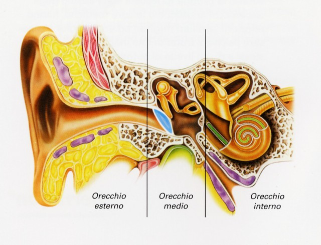 l 39 anatomia dell 39 orecchio umano centro acustico toscano